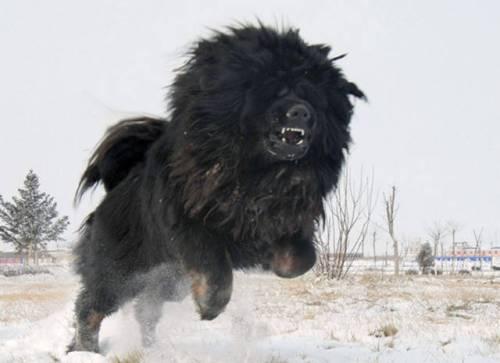 Biggest-Tibetan-Mastiff-8