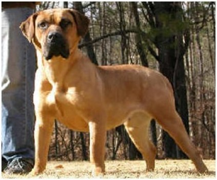 Dogo Canarios 1