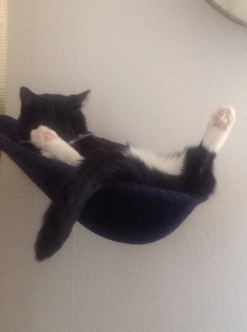 My cat Fluffy yesterday, lolling about in his hammock.