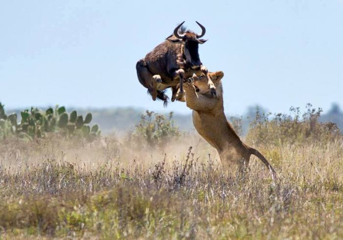 ucky for this Wildebeest, the young male lost his grip   so the Wildebeest could get away. Photo taken by Jacques Matthysen at Kariega Game Reserve