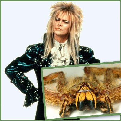 A spider. The Heteropoda davidbowie is distinguished by its large size and yellow hair, and is only found in parts of Malaysia. Bowie was apparently selected for the honour because of his musical contribution to arachnid world – the 1972 concept album The Rise and Fall of Ziggy Stardust and the Spiders from Mars.