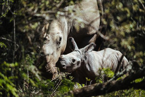 Thandi-calf-Jan2015-GaryVanWyk1000-2