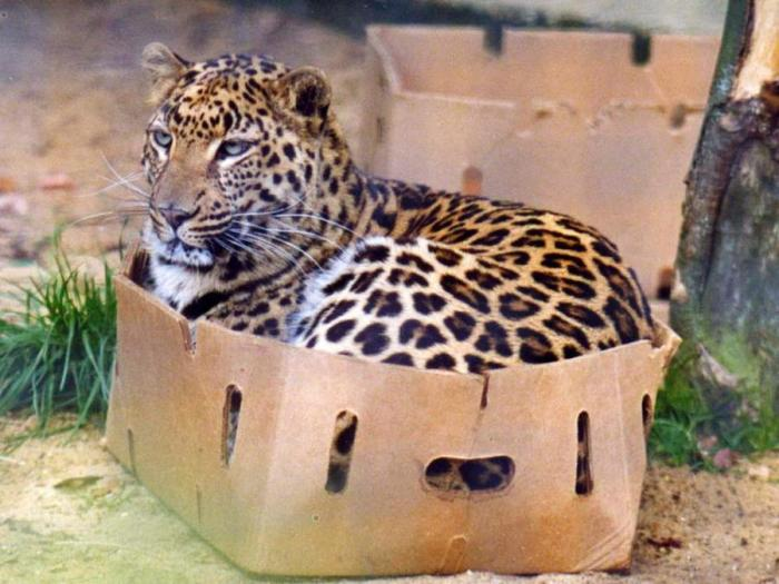 big-cats-in-boxes