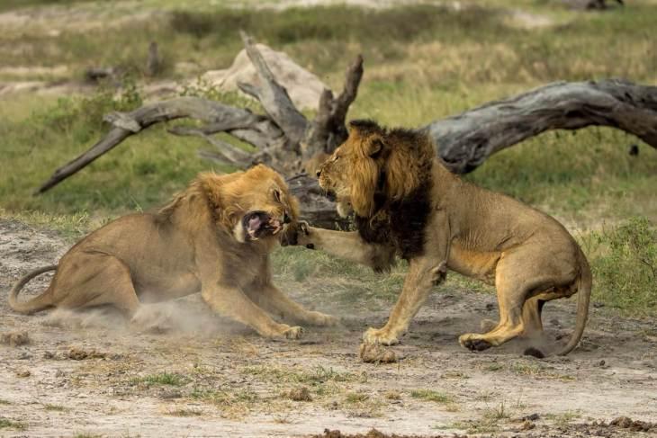 150801-jericho-cecil-lion-brother-02-0316p_5704db23c0dd5a05fa9f07a798878d2b.nbcnews-fp-1200-800