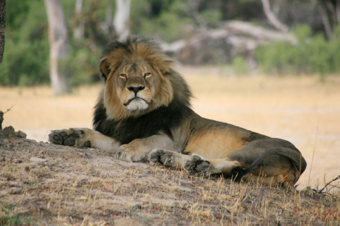 Keywords: stock, lion, cecil, poaching, hunting, wildlife     Cecil, the Hwange lion wakes up from a deep sleep