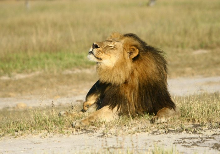 Cecil the lion is seen at Hwange National Parks in this undated handout picture received July 31, 2015. The American dentist who killed Cecil the lion was a