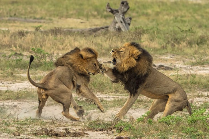Cecil the lion (darker mane) fighting with a male lion called Jericho