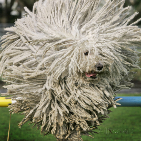 hungarian-puli-sheep-dog-fee-jumps-over-a-hurdle-during-a-preview-for-a-pedigree-dog-show