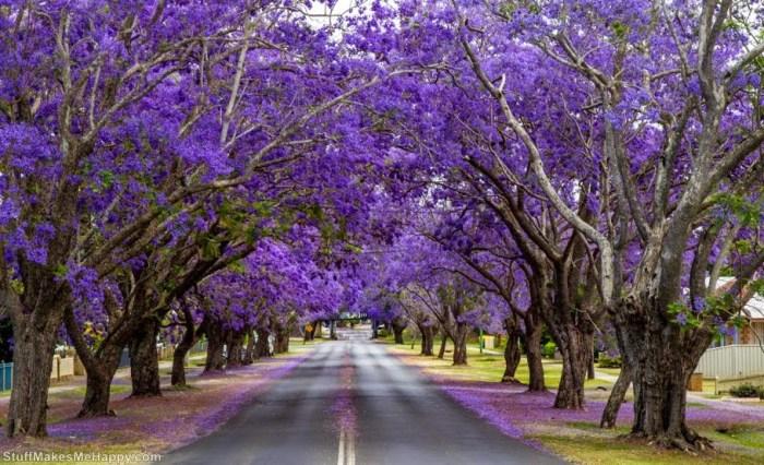 2. Flowering trees Jacaranda, Johannesburg, Republic of South Africa. (Photo by John)
