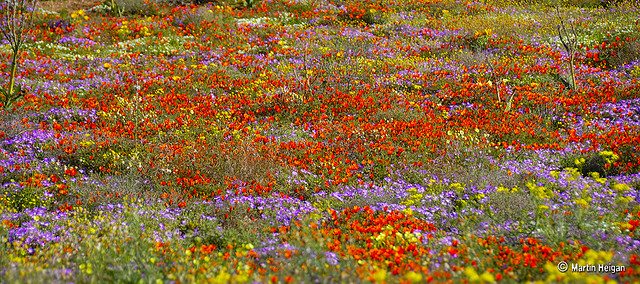 The Wild Flowers of Namaqualand. Garies, Namaqualand, Northern Cape, South Africa, August 2007. Martin Heigan mh@icon.co.za http://anti-matter-3d.com http://www.flickr.com/photos/martin_heigan