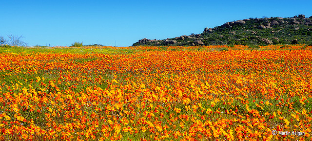 The Wild Flowers of Namaqualand. Kamieskroon, Namaqualand, Northern Cape, South Africa, August 2007. Martin Heigan mh@icon.co.za http://anti-matter-3d.com http://www.flickr.com/photos/martin_heigan