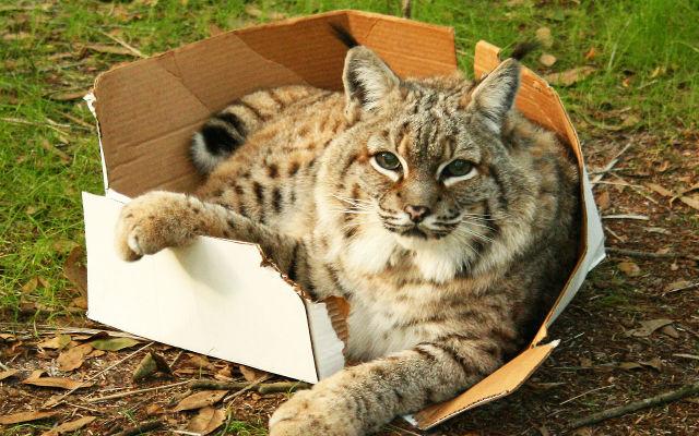 big-cat-in-big-box