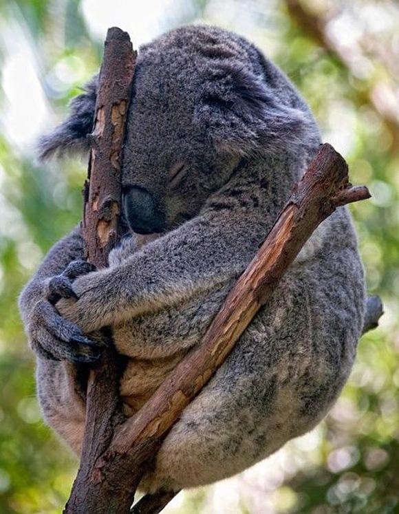 animals-sleep-koala
