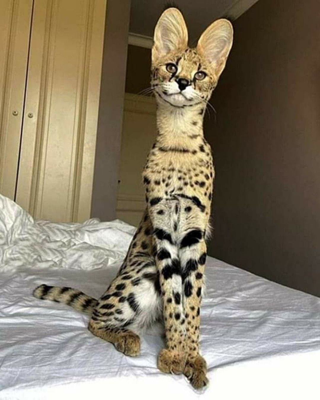 Differences between Bengal and Savannah cats