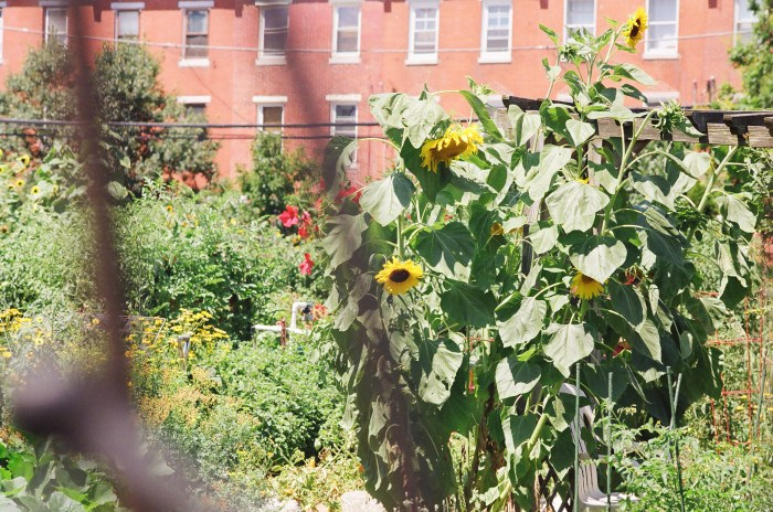 Sunflowers at The Springs Gardens