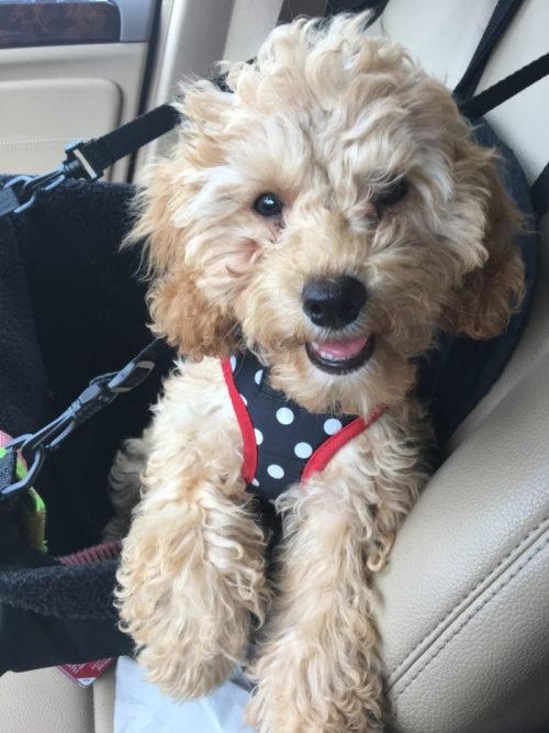 Puppy riding in car seat