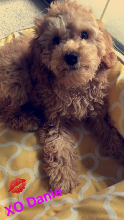 Adorable Cockapoo puppy 3 months