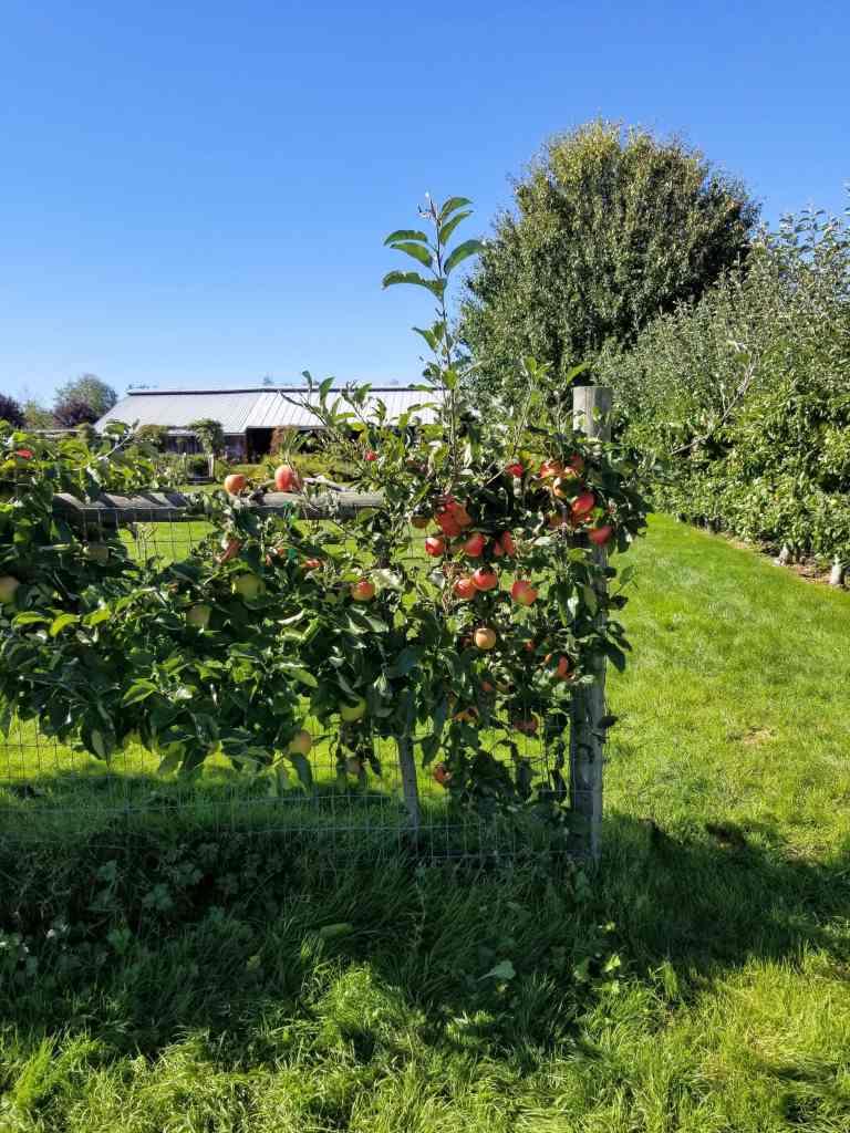 Apple trees growing on fence at apple farm.