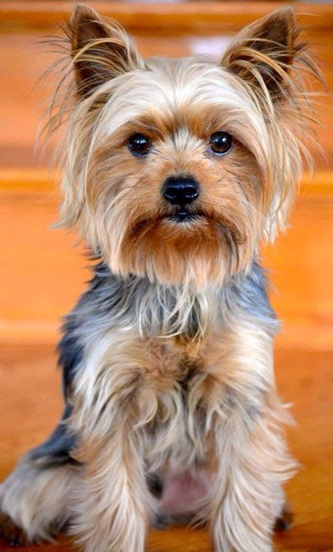 20+ Pictures Yorkie Haircuts \u0026 Yorkie Hair Styles To Try
