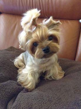 yorkie haircuts / yorkie hair styles