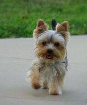 yorkie haircuts / yorkie puppy cut
