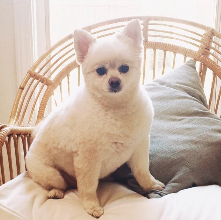 Pomeranian haircuts / Pomeranian lamb cut