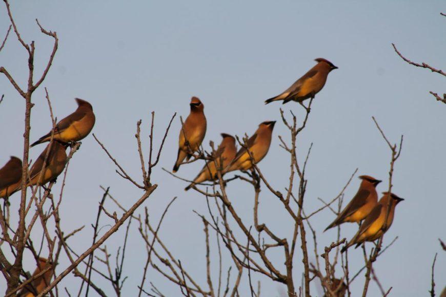 Cedar Waxwings, lots of them!