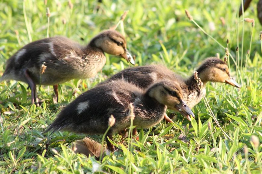 Ducklings in the spring