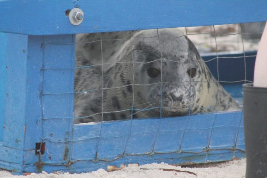Seal about to be released back into the wild by the Riverhead Foundation.