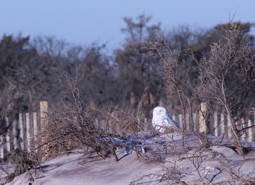 Visiting snowy owls that now are an every winter occurrence!