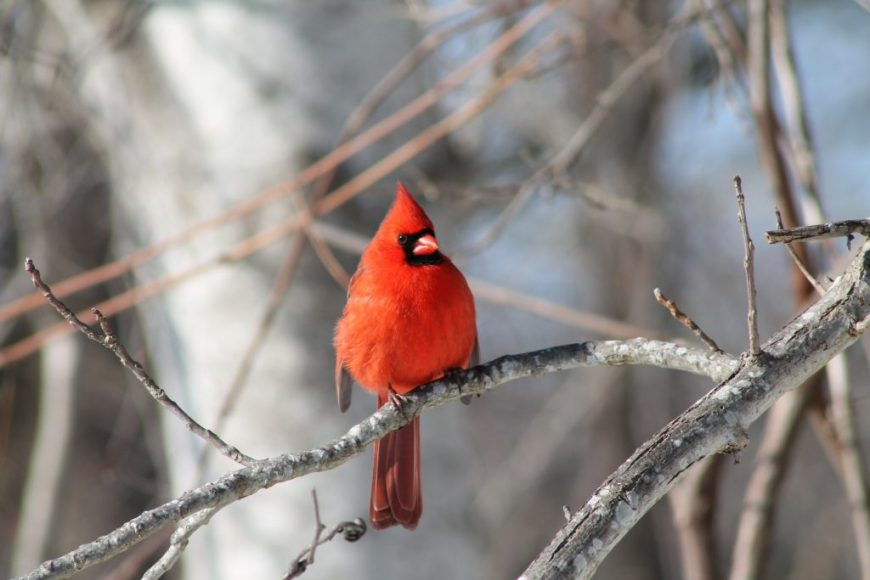 Chubby Cardinal puffed out trying to stay warm on a very cold winter day. ~ Nancy Hassel Photography, Canon Rebel