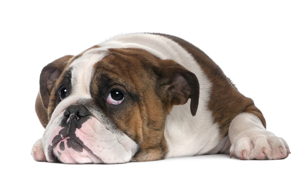 English Bulldog puppy, 4 months old, lying in front of white background