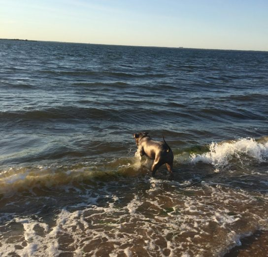 Cody romping at the bay beach, Long Island, NY.