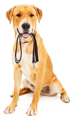 Labrador Retriever dog against a white backdrop holding a black leash in his mouth as he is waiting to go on a walk.