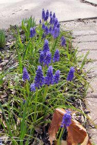 P1070166_grape_hyacinth