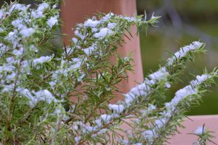 Yes, that's real snow on my rosemary