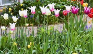 20150508_DSC_0320_tulips