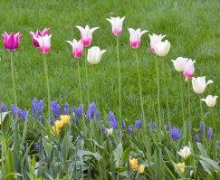 20150508_DSC_0362_tulips