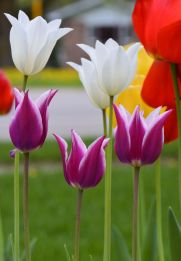 20150508_DSC_0376_tulips
