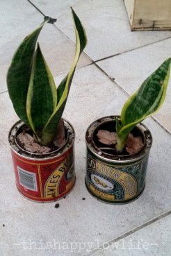 Small tins are great for succulent plants that don't have deep root systems.