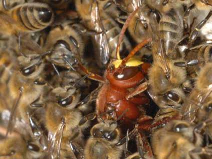bees cook hornet