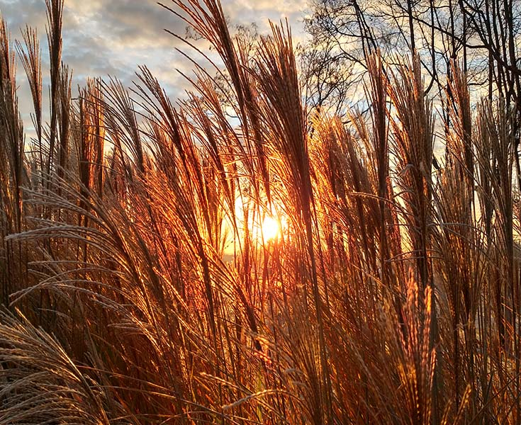 Ornamental grass care when and how to cut back divide this is ornamental grass workwithnaturefo