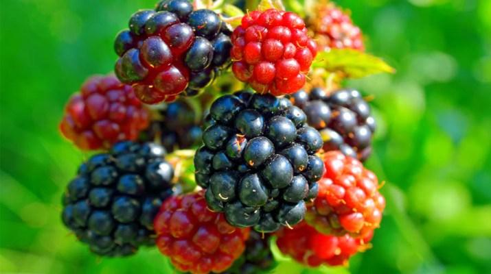 grow blackberries and raspberries