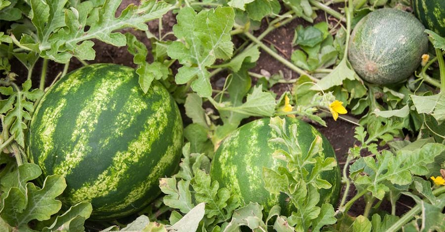 How To Plant and Grow Watermelons! Tips From A Seasoned Melon Grower