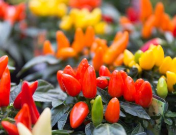 Creating Gorgeous Hanging Baskets and Containers – From Ornamental Peppers!