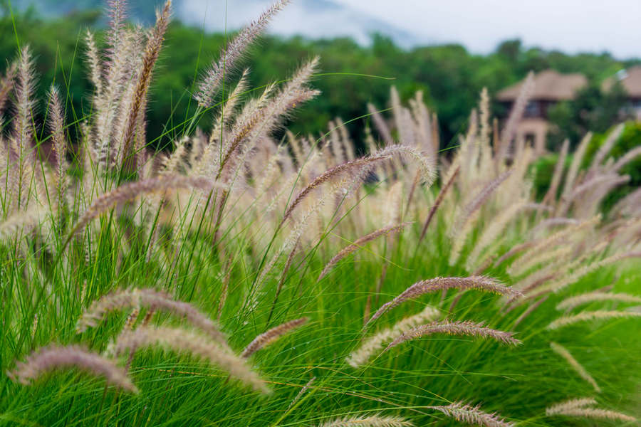 4 ornamental grass varieties to add low maintenance style to your yard