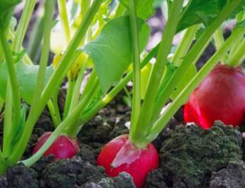 Spring garden crops