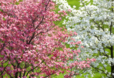 Dogwood Trees - Top Tips For Planting And Maintaining!