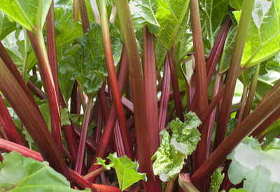 grow rhubarb