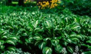 Growing Hosta Plants – The Ultimate Shade Loving Perennial!